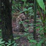 Wildcat in Zoo