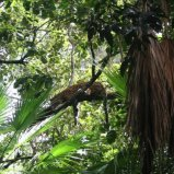 Jaguar in tree
