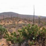 Wild Pear Cactus